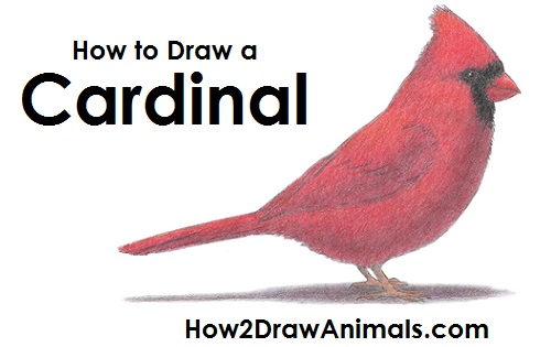 how-to-draw-cardinal-bird